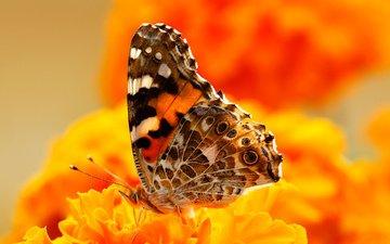 цветы, насекомое, бабочка, крылья, мотылек