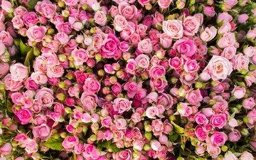 цветы, бутоны, розы, розовые, много