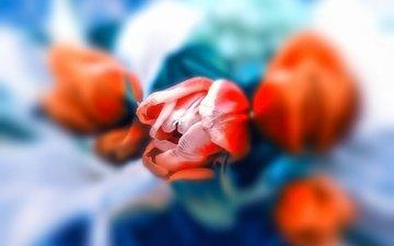 цветы, фон, бутон, букет, тюльпаны