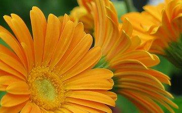 цветы, желтые, герберы, флора