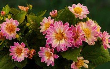 цветы, лепестки, яркие, георгины