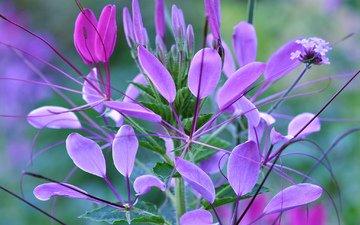 цветы, листья, растение, макр, клеома
