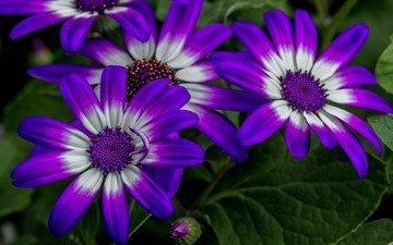 цветы, макро, лепестки, остеоспермум