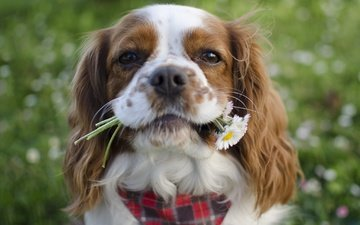цветы, мордочка, собака, спаниель, кавалер кинг чарльз спаниель, кавалер-кинг-чарльз-спаниель