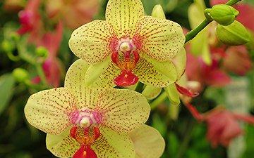 цветы, лепестки, орхидея, флора