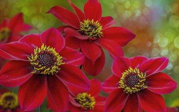цветы, природа, фон, лепестки, красные, георгины