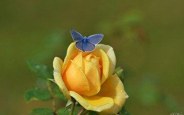 цветы, природа, насекомое, фон, роза, бабочка