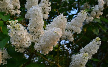 цветы, цветение, весна, белая, сирень