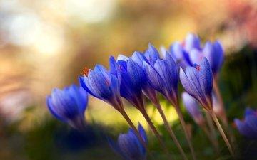 цветы, весна, букет, стебель, крокусы