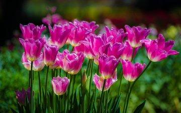 цветы, весна, тюльпаны, розовые