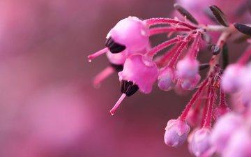 цветы, ветка, бутоны, макро, размытость, розовые, куст, вереск