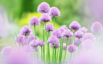 цветы, сиреневый, декоративный лук, аллиум