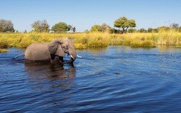 деревья, река, солнце, слон, камыши, в воде