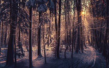 деревья, снег, лес, зима, лучи солнца