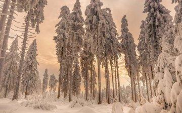 деревья, снег, лес, зима, ели
