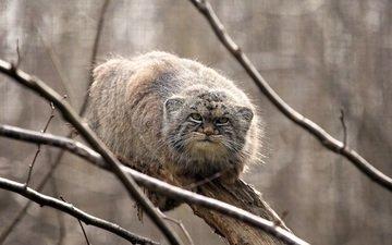 дерево, кошка, взгляд, манул