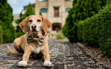 дорожка, взгляд, собака, сидит, друг, бантик