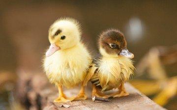 доска, птицы, пара, утята, утки, птенцы