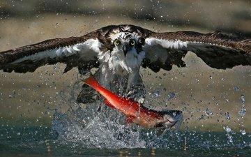 еда, брызги, птица, охота, рыба, лосось, скопа