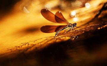 насекомое, фон, крылья, блики, стрекоза, травинка