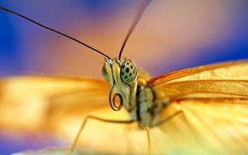 глаза, насекомое, бабочка, крылья