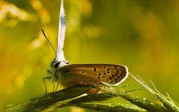 глаза, насекомое, капли, бабочка, колоски, усики