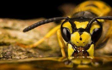 глаза, макро, насекомое, усики, пчела