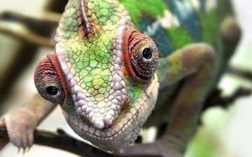 глаза, макро, ящерица, животное, кожа, хамелеон