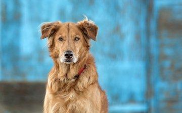 глаза, морда, шерсть, взгляд, собака, друг, золотистый ретривер