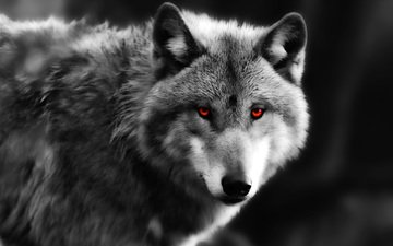 глаза, взгляд, серый, хищник, волк