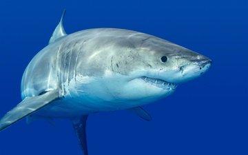море, хищник, зубы, акула, подводный мир