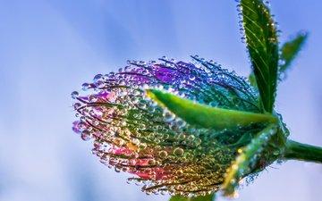 клевер, макро, цветок, роса, капли