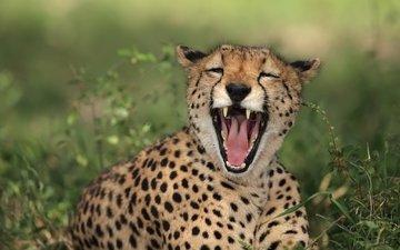 кошка, пятна, хищник, зубы, пасть, гепард