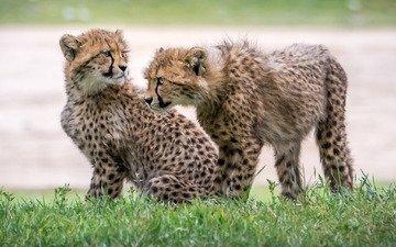 grass, kittens, cheetahs, cubs