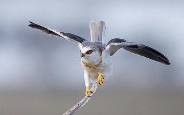 крылья, птица, перья, коршун, дымчатый, хвост, белохвост