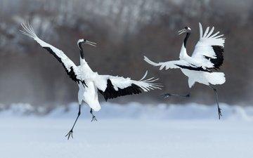 крылья, птицы, танец, перья, журавль, японский журавль