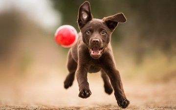 paws, look, dog, puppy, the game, each, the ball, running, labrador