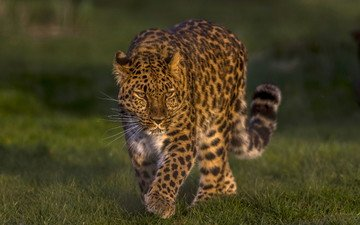 леопард, дикая кошка, красавец, дальневосточный леопард, амурский леопард