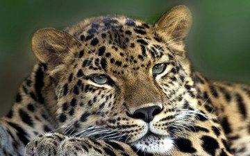 глаза, морда, взгляд, леопард, хищник, зверь
