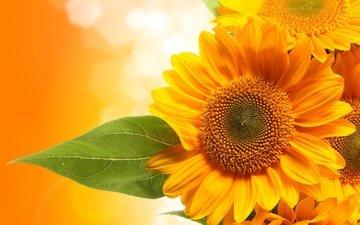 цветы, фон, лист, подсолнухи, желтые, ле