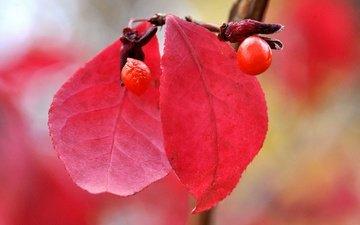 листья, макро, осень, ягоды, плод