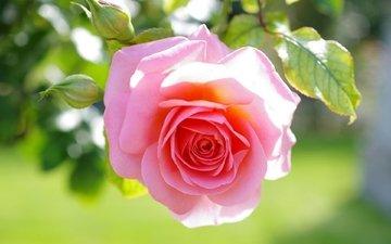 листья, макро, цветок, роза, бутон, розовая