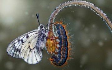 макро, цветок, бабочка, крылья, насекомые, гусеница