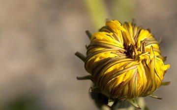 макро, цветок, бутон, одуванчик