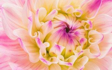 macro, flower, petals, dahlia