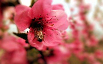 макро, насекомое, цветок, пестик, пчела