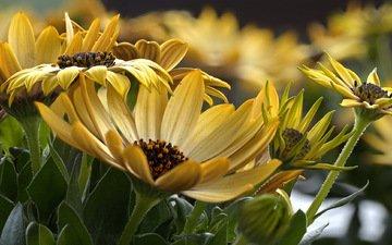 макро, цветок, растение, желтые, герберы