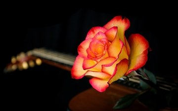 macro, background, flower, guitar, rose, petals, black background