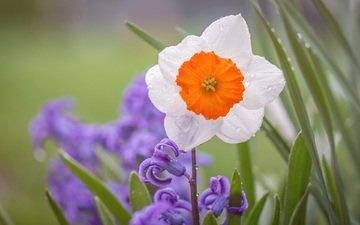 цветы, макро, капли, лепестки, нарцисс, гиацинт