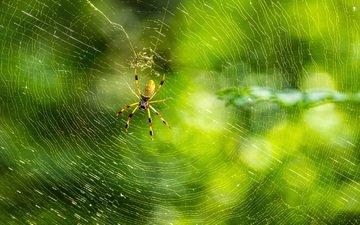 природа, макро, фон, лапы, паук, паутина